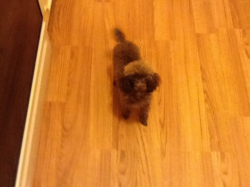 Tiny Toy Poodle - Sire & Dams